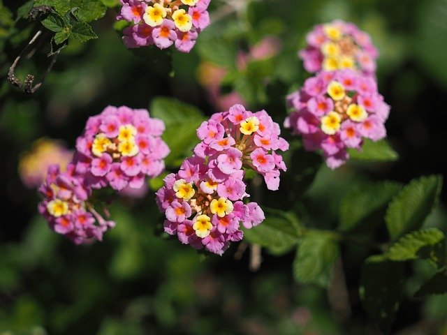 Lantana In General Are Considered To Be Half Hardy Perennials