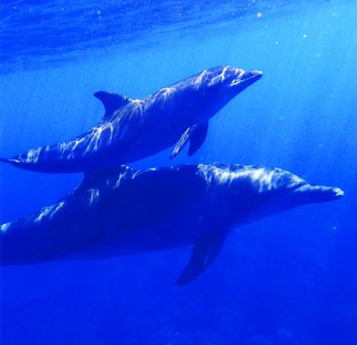 adopt a dophin