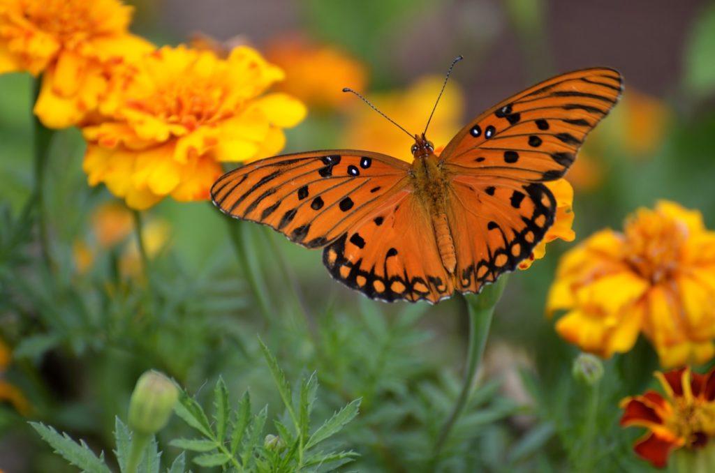gulf-fritillary-butterfly
